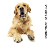 Stock photo studio shot of an adorable golden retriever lying on white background 555386665