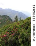 Small photo of Alpine rose blossom in the mountains. In the spring the alpine roses bloom in the mountains