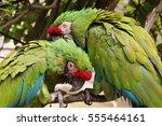 Small photo of Loro cabeza roja, red head mexican parrot, amazona viridigenalis, two shot