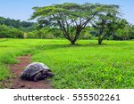 Stock photo galapagos giant tortoise geochelone elephantopus on santa cruz island in galapagos national park 555502261