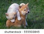 Portrait Of A Purebred Dingo...