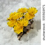 Small photo of A close up of the first flowers pheasant's eye (Adonis) among melting snow. Early spring.
