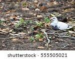 White Pigeon Beautiful Close U...