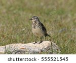 Small photo of American Pipit