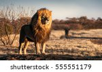 single lion looking regal... | Shutterstock . vector #555551179