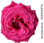 Stock photo beautiful close up hot pink rose isolated on white background 555554974