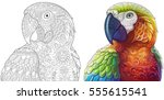 Collection of two stylized macaw (ara) parrots. Monochrome and colored versions. Freehand sketch for adult anti stress coloring book page with doodle and zentangle elements. | Shutterstock vector #555615541
