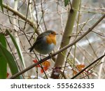 European Robin In Wayfaring...