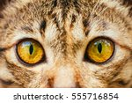 yellow cats eyes  close up of a ... | Shutterstock . vector #555716854