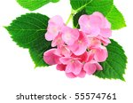 Pink Hydrangea isolated on a white background. - stock photo