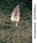 Small photo of Celosia Argentea, Kurdu, Amaranthaceae, A widespread weed