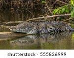 American Crocodile Lying Or...