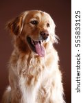 Golden Retriever Dog Portrait...