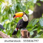 Great Hornbills In Rainforest