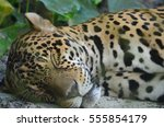 A Sleeping Jaguar In The Amazo...