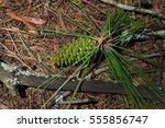 green pine cone | Shutterstock . vector #555856747