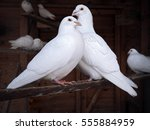 couple of pigeons sitting at... | Shutterstock . vector #555884959