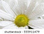 dew water drops on daisy  | Shutterstock . vector #555911479
