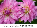 Two Pink Dahlias Covered In...