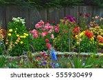 Colorful Dahlia Garden In Full...