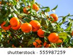 Tangerine Tree In A Botanical...