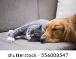 Stock photo british shorthair and golden retriever 556008547