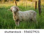 Small photo of Ram, sheep.