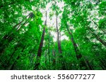 65 years man made forest full... | Shutterstock . vector #556077277