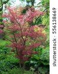 Small photo of Maple tree Acer palmatum