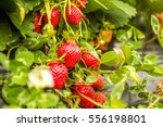 Strawberry Fruit Grows In The...