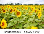 Sunflower Field  Provence In...