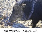 close up of collared peccary ... | Shutterstock . vector #556297261