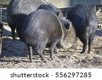 close up of collared peccary ... | Shutterstock . vector #556297285