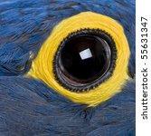 Hyacinth Macaw  1 Year Old ...