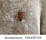 Small photo of Mallotus Harlequin Bug (Cantao parentum)