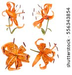 Small photo of tiger lily flower bud isolated on white background