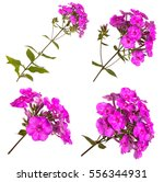 Blooming Phlox Isolated On...