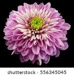 pink violet flower... | Shutterstock . vector #556345045