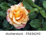 An Apricot Colored Rose. Leave...
