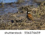 Small photo of Chestnut-backed sparrow-lark in Kruger national park, South Africa ; Specie Eremopterix leucotis family of Alaudidae