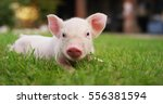 Pig Cute Newborn Standing On A...
