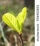 Small photo of Young alder leaf