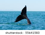 Tail Fin Of A Gray Whale In...