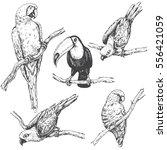 hand drawn birds set. parrots... | Shutterstock .eps vector #556421059