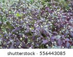 Small photo of Beautiful purple Knight (Alternanthera dentata)