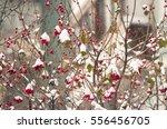 The Viburnum Berries Powdered...