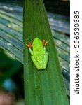Small photo of Red-eyed tree frog (Agalychnis callidryas) in a forest near La Fortuna, Costa Rica