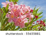 Oleander Pink And Red With The...