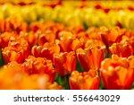 Orange   Red Flame Spring...