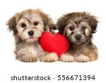 Stock photo two lover valentine havanese puppies lie together with a red heart isolated on white background 556671394
